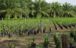 Las plantaciones de palma con destino a la producción de biofuel obliga a eliminar grandes extensiones de selva tropical.